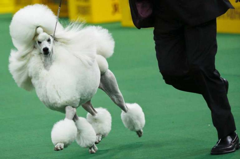 Westminister Dog Show
