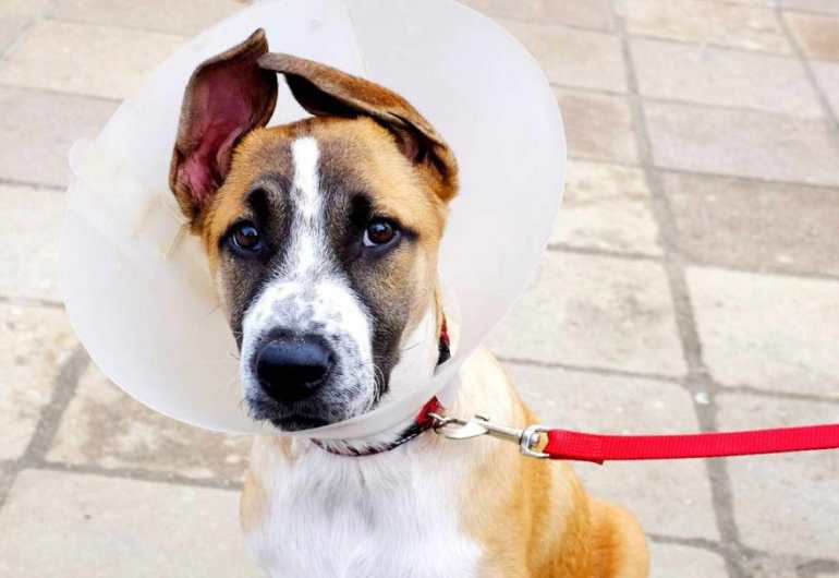 Dog Neutering Cost