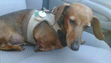 Dachshund Rescue St Louis