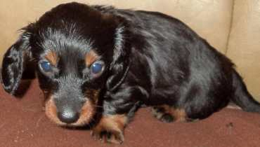 Long Haired Dachshund Puppies For Sale
