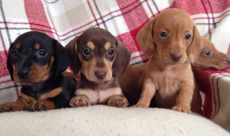 Rescue Dachshund Puppies For Sale