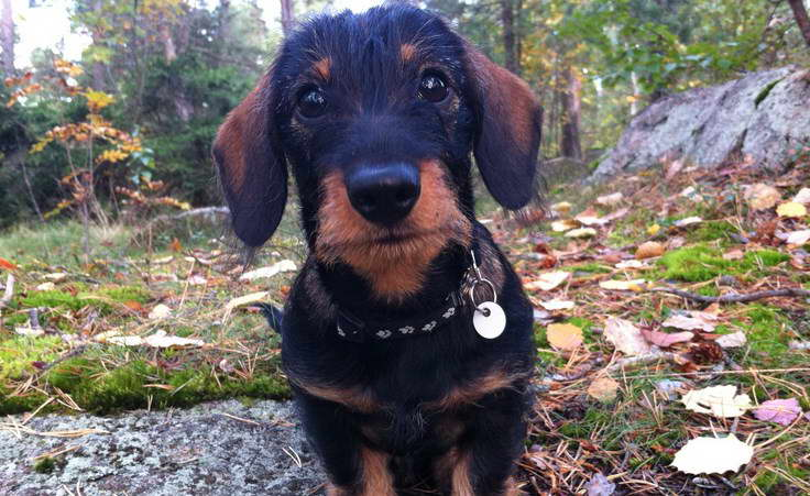 Soft Coated Wire Haired Dachshund