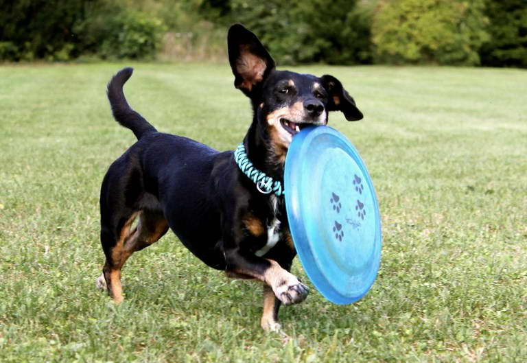 Best Toys For Dachshunds