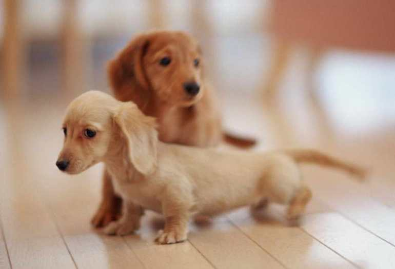 Dachshund Terrier Puppies For Sale