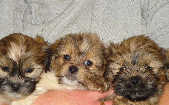 Shih Tzu Dachshund Mix Puppies For Sale