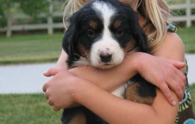 Bernese Mountain Dog For Sale Near Me
