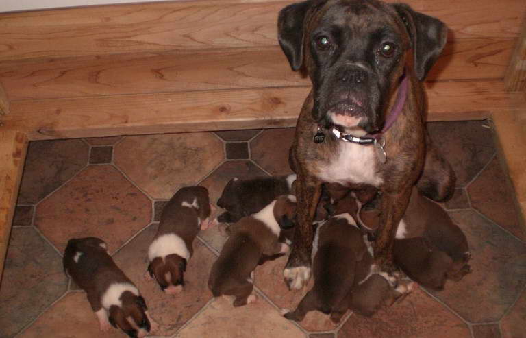 Boxer Dogs For Sale Near Me