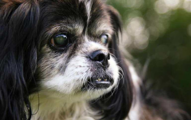 Dog Cataract Surgery Los Angeles