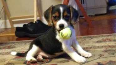 beagle puppies for sale in miami