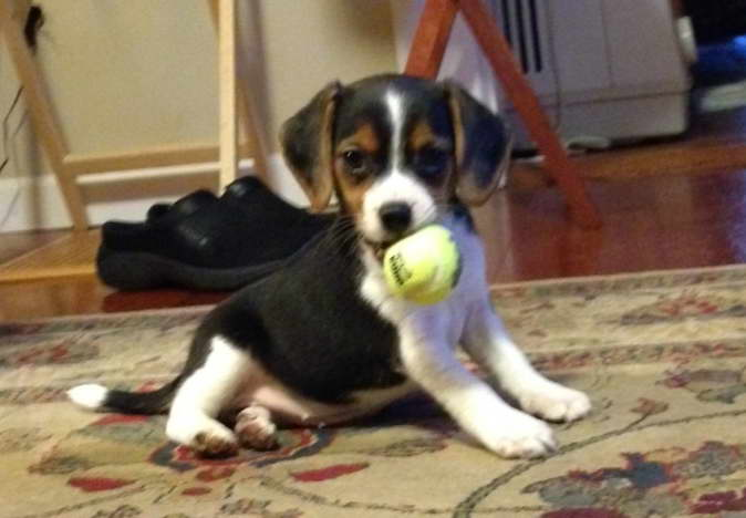 beagle puppies for sale in miami