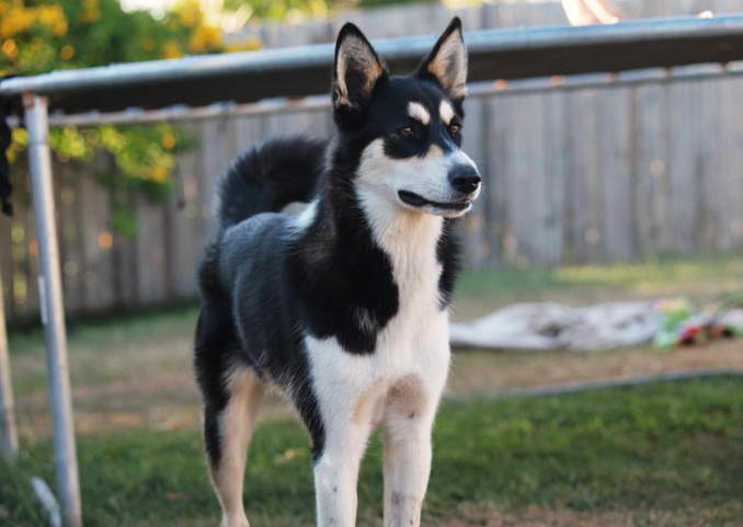 Looking For Border Collie Husky Mix?