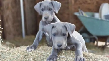 great dane puppies for rescue