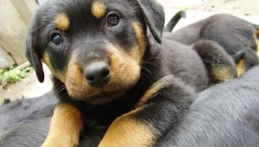 rottweiler german shepherd mix puppy