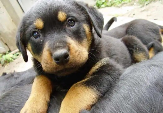 rottweiler german shepherd mix puppy