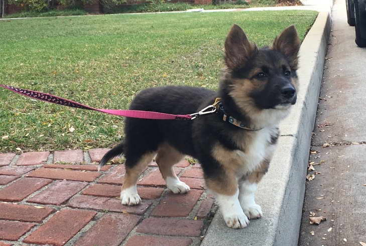 Akita German Shepherd Corgi For Sale