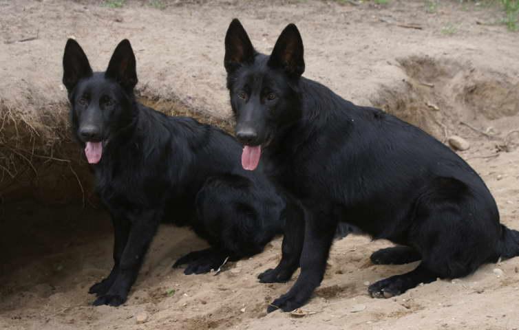 Black German Shepherd Puppies sale Texas | petswithlove us
