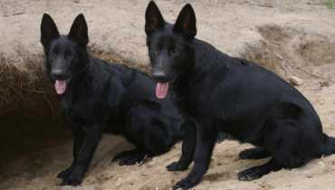 all black german shepherd puppies for sale in texas