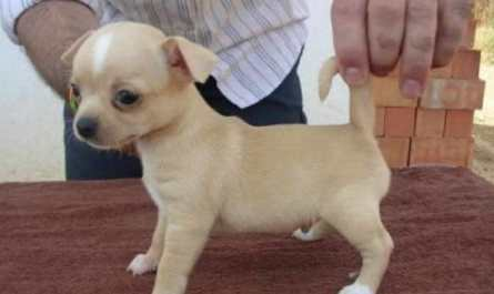 chihuahua puppies for sale new mexico