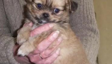 chihuahua shih tzu mix puppy for sale