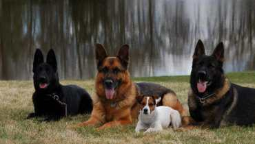 german shepherd breeder ohio