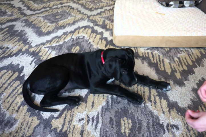 Find House Training a Great Dane Near Me