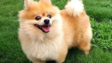 pomeranian for sale austin tx