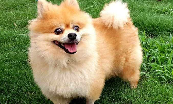 Find Pomeranian for Sale in Austin TX