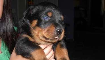 rottweiler puppies in texas