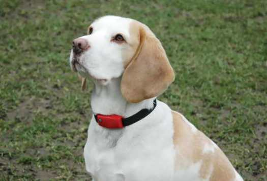 beagle bark collar