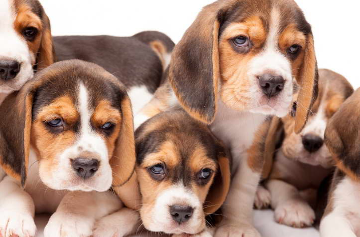 Find Beagle Puppies Breeders Near Me