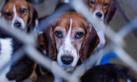 beagle rescue pittsburgh pa