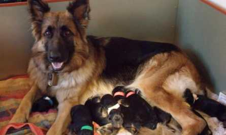 buying german shepherd puppy