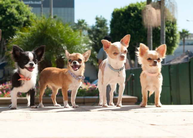 Chihuahua Puppies for Sale in San Antonio TX | petswithlove us