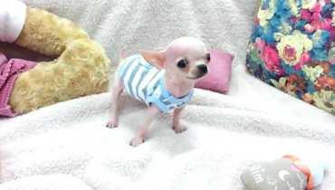 chihuahua puppies for sale spokane wa