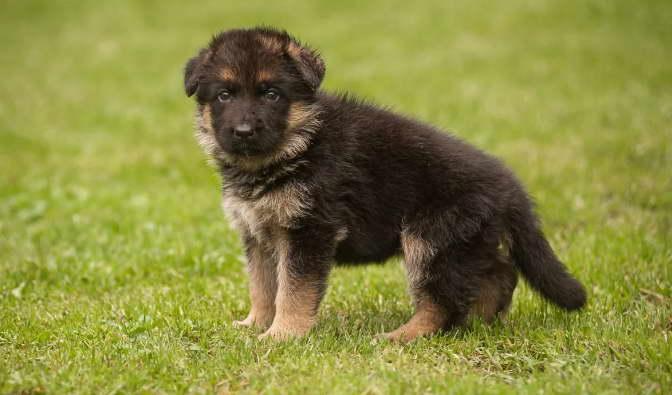 Cost of German Shepherd Puppies