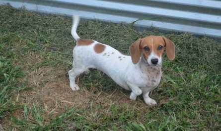 dachshund for sale in ga