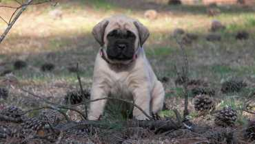 english mastiff puppies for sale near me