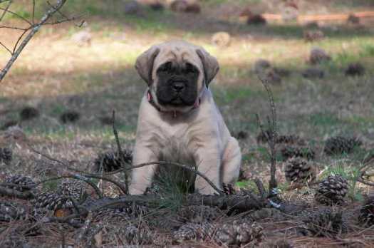 english mastiff puppies for sale near me