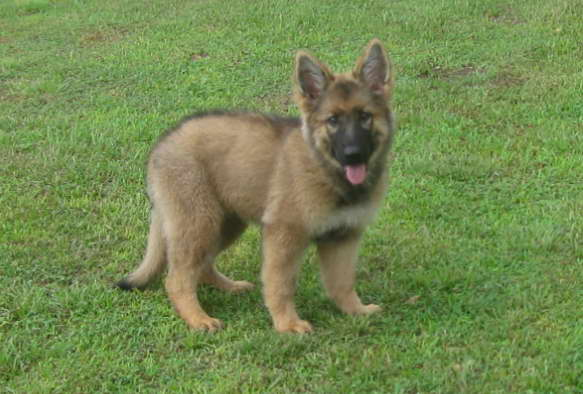 German Shepherd Breeders in Orlando