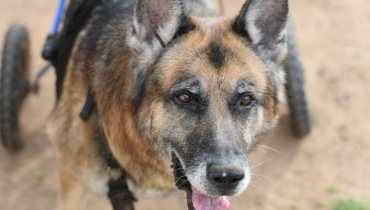 german shepherd dm