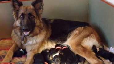 german shepherd dogs for sale in texas