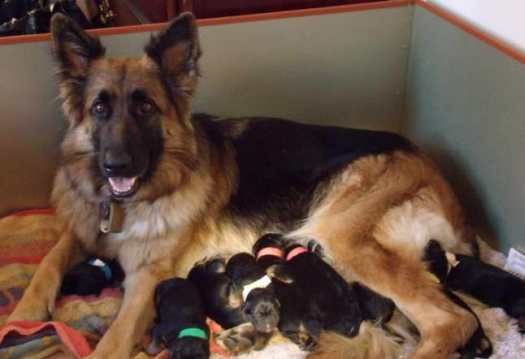german shepherd dogs for sale in texas