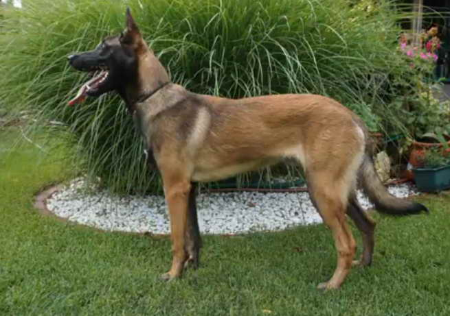 german shepherd police dog for sale