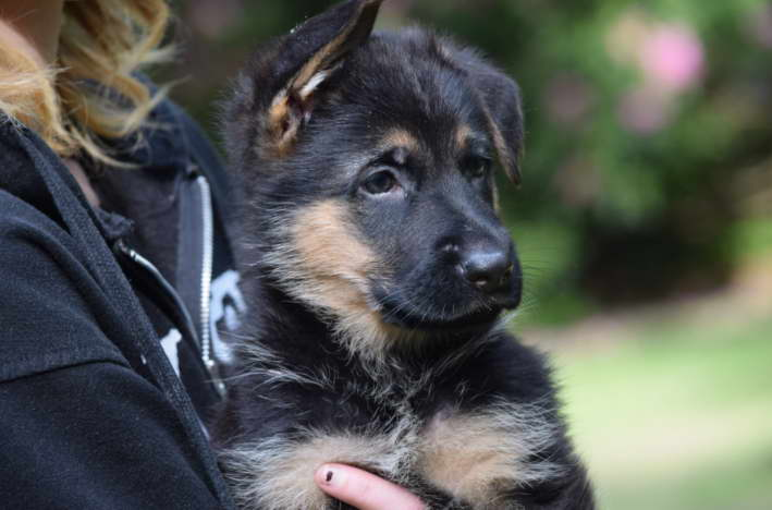German Shepherd Puppies for Sale in New England