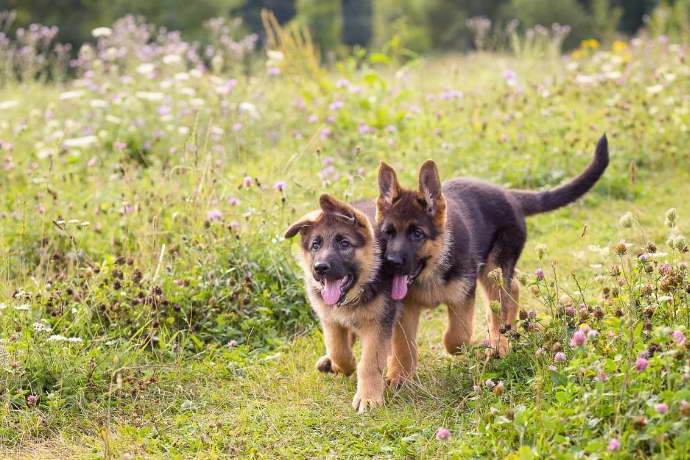 German Shepherd Puppies for Sale in Philadelphia