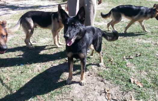german shepherd rescue north florida