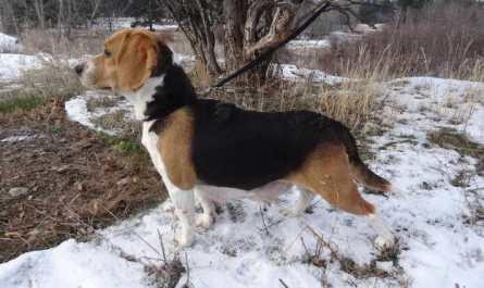 housetraining a beagle