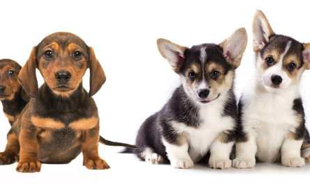 how much do dachshund puppies cost