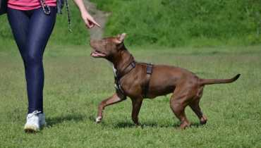 How to Train a Pit Bull