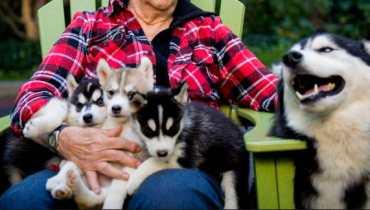 husky breeders in maine